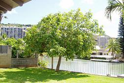 avocado_tree