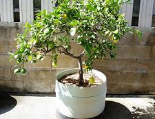 lemon_tree