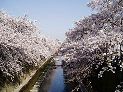 sakura_bridge