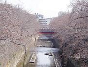 sakura_not_yet1